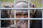 Kritik-an-Schimpansenshow dpa
